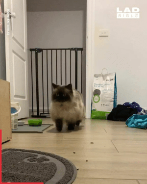 I can't stop watching the way this cat gets over a fence 😆: LAD  BIBLE  CAT LIT  CONTENTBIBLE I can't stop watching the way this cat gets over a fence 😆