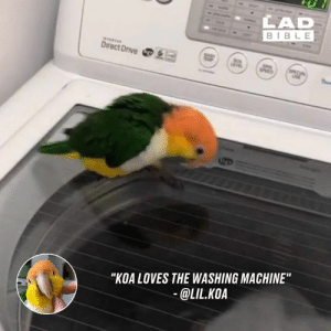 "Spin mode activated 😂🐦: LAD  BIBLE  DirectDrive四  ""KOA LOVES THE WASHING MACHINE  @LIL.KOA Spin mode activated 😂🐦"