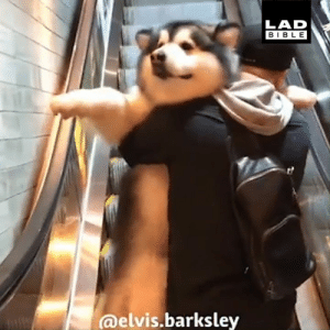 Dank, Bible, and Time: LAD  BIBLE  @elvis.barksley 'Our dog Elvis hates escalators so we have to pick him up every time...' 😂