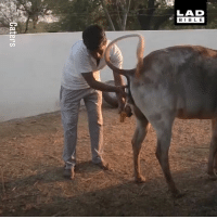Memes, Wee, and Bible: LAD  BIBLE He drinks cow wee because he thinks it keeps him healthy... 🤷🤷🤷