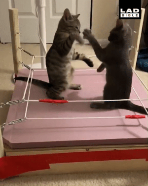Cats, Dank, and Wrestling: LAD  BIBLE 'I built a wrestling ring for my cats and so far it's going exactly how I'd hoped...' 😂😂