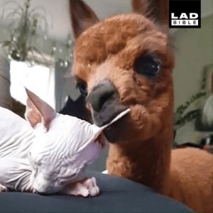 Dank, Bible, and Alpaca: LAD  BIBLE 'I introduced an alpaca to my cat and they formed the unlikeliest of friendships' 😺🦙