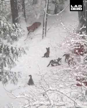 Dank, Parents, and Bible: LAD  BIBLE 'I spotted 5 baby foxes playing in my parents' garden after a snowstorm' 🦊