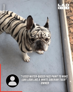 "This professional makeup artist and body painter wanted to cheer up her sister by giving the dog a temporary makeover 🐶👏: LAD  BIBLE  ""I USED WATER-BASED FACE PAINT TO MAKE  LOKILOOK LIKE A WHITE SIBERIAN TIGER""  -OWNER  [VIRALHOG This professional makeup artist and body painter wanted to cheer up her sister by giving the dog a temporary makeover 🐶👏"