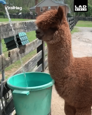 Even alpacas need to cool off in this heat 😁😁: LAD  BIBLE  iralHog Even alpacas need to cool off in this heat 😁😁
