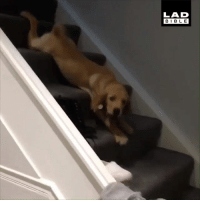Dank, Bible, and 🤖: LAD  BIBLE 'Max has a pretty unusual way of getting down the stairs' 😂🐶