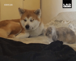 Dank, Bible, and 🤖: LAD  BIBLE  NEWSFLARE Rabbits flop over when they feel completely safe 🐰🐕