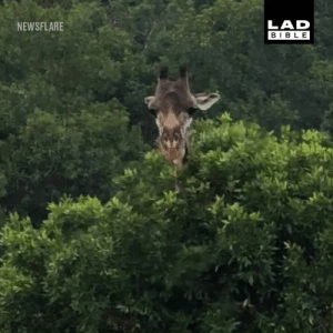 When you have an itch you just can't scratch... 😂🦒: LAD  BIBLE  NEWSFLARE When you have an itch you just can't scratch... 😂🦒