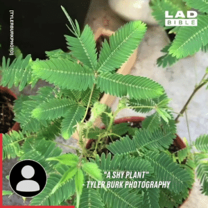 "Dank, Bible, and Nature: LAD  BIBLE  PA SHY PLANT""  TYLER BURK PHOTOGRAPHY  TYLERBURKPHOTO] This sensitive plant reacts to touch! Nature is amazing sometimes. 🌿"