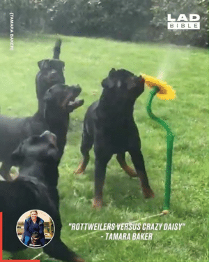 "How to keep rottweilers entertained on a hot day 😎🙌: LAD  BIBLE  ""ROTTWEILERS VERSUS CRAZY DAISY""  -TAMARA BAKER  [TAMARA BAKER How to keep rottweilers entertained on a hot day 😎🙌"