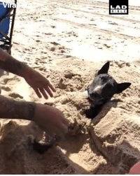 Dank, Bible, and 🤖: LAD  BIBLE 'So I found out my dog loves getting buried in the sand' 😂