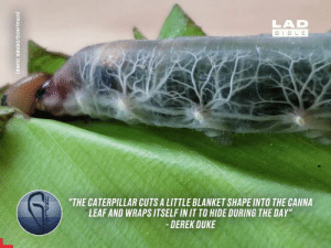 "Dank, Bible, and Duke: LAD  BIBLE  ""THE CATERPILLAR CUTS A LITTLE BLANKET SHAPE INTO THE CANNA  LEAF AND WRAPS ITSELF IN IT TO HIDE DURING THE DAY""  DEREK DUKE  UZA  [VIRALHOG/DEREK DUKE) The Brazilian Skipper Caterpillar has translucent skin, meaning you can see its respiratory system fluctuating inside. This is mesmerising 😲🐛"