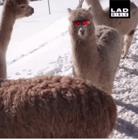 Dank, Bible, and Alpaca: LAD  BIBLE This alpaca is cooler than all of you 😎
