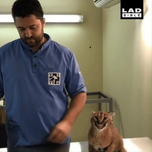 This caracal really has it in for the vet... 😂: LAD  BIBLE This caracal really has it in for the vet... 😂