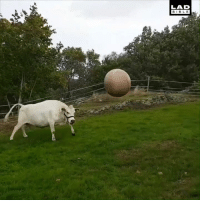 Dank, Bible, and 🤖: LAD  BIBLE This cow is at his happiest when playing fetch! 🐄