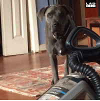 This dog jumps over everything no matter how tall it is. Except vacuums... 😂🐕: LAD  BIBLE This dog jumps over everything no matter how tall it is. Except vacuums... 😂🐕