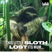 Dank, Lost, and Bible: LAD  BIBLE  THIS LITTLE SLOT  LOST ITS MUM Such a creative way to reunite a lost baby sloth with its mother 👏😍  Jaguar Rescue Center