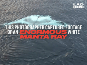 Dank, Bible, and White: LAD  BIBLE  THIS PHOTOGRAPHER CAPTURED FOOTAGE  OF AN ENORMOUS WHITE  MANTARAY White manta rays are incredibly rare, and sightings are even rarer. This photographer managed to snap a gigantic one! 😳😳