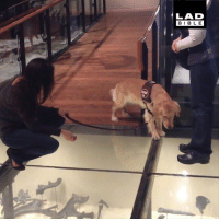 This service dog encountered a glass floor for the first time... 😂🐶: LAD  BIBLE This service dog encountered a glass floor for the first time... 😂🐶