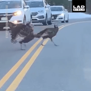 Dank, Friends, and Traffic: LAD  BIBLE This smart turkey held up the traffic to allow its friends to cross the road safely 😂🦃