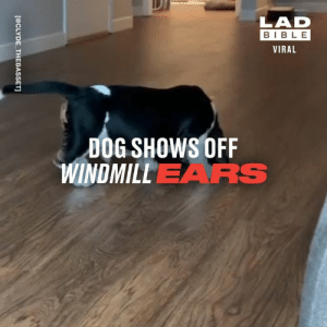 Look at those ears go! 😂🐶: LAD  BIBLE  VIRAL  DOG SHOWS OFF  WINDMILLEARS  [@CLYDE THEBASSET] Look at those ears go! 😂🐶