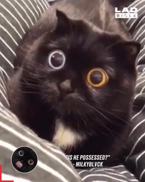 """Cats, Dank, and What Is: LAD  BIELE  S HE POSSESSED?""""  -MILKYBLVCK What is going on with this cat's eyes? 👀😺"""