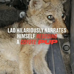 This has to be one of the funniest animal rescue stories I've ever seen 😂👏: LAD HILARIOUSLY NARRATES  APING  HIMSELF  ACOPOTE P This has to be one of the funniest animal rescue stories I've ever seen 😂👏