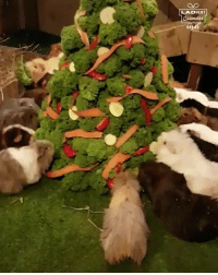 Dank, 🤖, and Mason: LADVENT  DA Just a load of guinea pigs enjoying a festive treat 😁🎄  Mason's Cavies x CONTENTbible