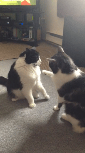Cats, Tumblr, and Blog: lady-fett: please enjoy this video of an action packed high speed fight between two cats.
