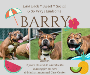 "Cats, Children, and Comfortable: Laid Back*Sweet * Social  & So Very Handsome  \BARRY  #65995  2 years old and 48 adorable lbs  Waiting for his hero  @ Manhattan Animal Care Center TO BE KILLED 6/25/2019  SOCIAL, WAGGY AND SWEET!  BARRY IS ONE HANDSOME LAID BACK GUY LOOKING TO TAKE SOME SUMMER EVENING WALKS WITH HIS FUREVER FAMILY!  A volunteer writes: I had the pleasure recently of hanging out in the rain in the backyard with Barry. What a treat! He is a wonderful laid back character. His looks say ""sturdy"". He didn't seem to mind the rain while strolling around checking out the smells of dogs. He gave the impression of enjoying my company, regularly checking in at me with gentle eyes. Barry really reveled in being toweled off once inside. He even rolled over to have his belly done. Barry is not only a very handsome fellow, but also a sweet and calm boy.   Barry #65995 Male brown dog @ Manhattan Animal Care Center About 2 years old Weight: 48.6 lbs Surrendered as a agency on 6/14/2019.  Barry is at risk for behavioral reasons. Barry has deteriorated during his stay at the care center and has exhibited high levels of kennel stress and barrier frustration making him very difficult to handle. Barry would be best suited for an experienced adopter prepared to offer reward based training and behavior modification. Medically, Barry has a skin condition as well as an ear condition which may need further care.  Let's get to know each other a bit more... A volunteer writes: I had the pleasure recently of hanging out in the rain in the backyard with Barry. What a treat! He is a wonderful laid back character. His looks say ""sturdy"". He didn't seem to mind the rain while strolling around checking out the smells of dogs. He gave the impression of enjoying my company, regularly checking in at me with gentle eyes. Barry really reveled in being toweled off once inside. He even rolled over to have his belly done. Barry is not only a very handsome fellow, but also a sweet and calm boy.   My medical notes are... Weight: 48.6 lbs  Vet Notes 6/18/2019  [DVM Intake] DVM Intake Exam  Estimated age: 2 years Microchip noted on Intake? No  History : Brought in by the police.   Subjective: BAR  Observed Behavior -With no restraint he was wagging his tail and taking treats. Sensitive to touch and whale eyed. Did not like restraint became very stressed and panting a lot and moving a lot. Sedated for exam.  Evidence of Cruelty seen -No  Evidence of Trauma seen -No  Objective   T = P =wnl R =wnl BCS 5/9  EENT: Eyes clear, moderate erythema and yeasty debris AU (AS>>AD), no nasal or ocular discharge noted Oral Exam: clean teeth PLN: No enlargements noted H/L: NSR, NMA, CRT < 2, Lungs clear, eupnic ABD: Non painful, no masses palpated U/G: M/I MSI: Ambulatory x 4, skin free of parasites, no masses noted, multifocal crusting and patchy alopecia on dorsum, mild interdigital erythema on all 4 paws CNS: Mentation appropriate - no signs of neurologic abnormalities Rectal: Clean externally  Assessment: -Pyoderma -Otitis externa  Prognosis: Good  Plan: -Sedated: torb 0.7 mL IM and dexmedetomidine 0.5 mL IM -Cleaned ears AU -Otipack AU -Cefpodoxime 150 mg PO SID x 14 days -Full dose Antisedan for reversal IM  SURGERY: Okay for surgery   Details on my behavior are... Behavior Condition: 3. Yellow  Behavior Assessment Date of intake:: 6/14/2019  Means of surrender (length of time in previous home):: Stray  Date of assessment:: 6/16/2019  Summary:: Leash Walking Strength and pulling: Mild  Reactivity to humans: None  Reactivity to dogs: None  Leash walking comments:  Sociability Loose in room (15-20 seconds): Highly social Call over: Approaches readily Sociability comments:   Handling  Soft handling: Seeks contact, soft Exuberant handling: Seeks contact, soft Handling comments:  Arousal Jog: Follows, loose Arousal comments:   Knock Knock Comments: No response  Toy Toy comments: Firm grip  Summary:: 6/15: When introduced off leash to a female dog, Barry is somewhat fearful but allows greeting.   6/18: Barry is fearful and keeps to himself.  ENERGY LEVEL:: Barry has been observed to display a medium energy level in the care center, we cannot be certain of his behavior in a new home environment, however, we recommend daily mental and physical stimulation as a way to direct his energy and enthusiasm.  IN SHELTER OBSERVATIONS:: 6/23 Barry has begun to display concerning behaviors in the care center, specifically when being remove or replaced in kennel, grabbing anything that comes near his kennel. He has been observed to snap at hands and fingers, and when handlers are attempting to leash him, Barry will grab the leash and drag it into the kennel. He will not relinquish these items for treats or toys. When attempting to use another item to retrieve leashes, he will grab that item as well. When outside of the kennel environment, Barry appears to interact with handlers appropriately, timid initially though warming up and seeking attention. Due to the risk for deterioration he presents combined with his current stress levels and frustration with being kenneled, the behavior department believes it would be in Barry's best interest to find placement as soon as possible.  BEHAVIOR DETERMINATION:: Level 3  Behavior Asilomar: TM - Treatable-Manageable  Recommendations:: No children (under 13)  Recommendations comments:: No children: Due to Barry's low threshold for arousal combined with his initial timidity, we feel he would be best set up to succeed in an experienced adult only home environment where he is allowed time to decompress before introduction to new and unfamiliar situations.  Potential challenges: : Fearful,On-leash reactivity/barrier frustration,Leash-biting,Low threshold for arousal  Potential challenges comments:: Fearful: Barry has been observed to be shy and timid on some occasions though is observed to warm up readily, becoming soft and attention seeking. Please see handout on Decompression period.   Barrier frustration: When approached in his kennel, at times Barry will hard bark, growl and snap through the bars, this behavior has not been noted outside of his kennel. While we cannot be certain if this behavior will appear in any other contexts, in highly emotionally charged or stressful environments Barry may show behavior similar to what he is currently demonstrating in his kennel. We recommend potential adopters be comfortable managing this behavior and keeping themselves safe in any similar future situations.  Leash biting: Barry has been displaying leash biting behavior in the care center. When on leash outside of his kennel, Barry will jump up and grab the leash, coming close to the handler's hands. In his kennel he will grab hold of the leash, drag it into the kennel and will not relinquish the items. Please see the handout on Leash-biting.   Low threshold for arousal: Barry becomes quickly fixated on some objects in his surroundings and will go for them repeatedly, he has been unable to trade up for treats or other items. We cannot be certain is this is a result of his overall stress level. Please see handout on Arousal.  *** TO FOSTER OR ADOPT ***  If you would like to adopt a NYC ACC dog, and can get to the shelter in person to complete the adoption process, you can contact the shelter directly. We have provided the Brooklyn, Staten Island and Manhattan information below. Adoption hours at these facilities is Noon – 8:00 p.m. (6:30 on weekends)  If you CANNOT get to the shelter in person and you want to FOSTER OR ADOPT a NYC ACC Dog, you can PRIVATE MESSAGE our Must Love Dogs page for assistance. PLEASE NOTE: You MUST live in NY, NJ, PA, CT, RI, DE, MD, MA, NH, VT, ME or Northern VA. You will need to fill out applications with a New Hope Rescue Partner to foster or adopt a NYC ACC dog. Transport is available if you live within the prescribed range of states.  Shelter contact information: Phone number (212) 788-4000 Email adopt@nycacc.org Shelter Addresses: Brooklyn Shelter: 2336 Linden Boulevard Brooklyn, NY 11208 Manhattan Shelter: 326 East 110 St. New York, NY 10029 Staten Island Shelter: 3139 Veterans Road West Staten Island, NY 10309  *** NEW NYC ACC RATING SYSTEM ***  Level 1 Dogs with Level 1 determinations are suitable for the majority of homes. These dogs are not displaying concerning behaviors in shelter, and the owner surrender profile (where available) is positive. Some dogs with Level 1 determinations may still have potential challenges, but these are challenges that the behavior team believe can be handled by the majority of adopters. The potential challenges could include no young children, prefers to be the only dog, no dog parks, no cats, kennel presence, basic manners, low level fear and mild anxiety.  Level 2  Dogs with Level 2 determinations will be suitable for adopters with some previous dog experience. They will have displayed behavior in the shelter (or have owner reported behavior) that requires some training, or is simply not suitable for an adopter with minimal experience. Dogs with a Level 2 determination may have multiple potential challenges and these may be presenting at differing levels of intensity, so careful consideration of the behavior notes will be required for counselling. Potential challenges at Level 2 include no young children, single pet home, resource guarding, on-leash reactivity, mouthiness, fear with potential for escalation, impulse control/arousal, anxiety and separation anxiety.  Level 3 Dogs with Level 3 determinations will need to go to homes with experienced adopters, and the ACC strongly suggest that the adopter have prior experience with the challenges described and/or an understanding of the challenge and how to manage it safely in a home environment. In many cases, a trainer will be needed to manage and work on the behaviors safely in a home environment. It is likely that every dog with a Level 3 determination will have a behavior modification or training plan available to them from the behavior department that will go home with the adopters and be made available to the New Hope Partners for their fosters and adopters. Some of the challenges seen at Level 3 are also seen at Level 1 and Level 2, but when seen alongside a Level 3 determination can be assumed to be more severe. The potential challenges for Level 3 determinations include adult only home (no children under the age of 13), single pet home, resource guarding, on-leash reactivity with potential for redirection, mouthiness with pressure, potential escalation to threatening behavior, impulse control, arousal, anxiety, separation anxiety, bite history (human), bite history (dog) and bite history (other).  New Hope Rescue Only  Dog is not publicly adoptable. Prospective fosters or adopters need to fill out applications with New Hope Partner Rescues to save this dog."