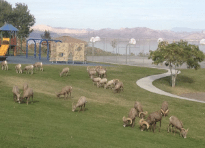 Lake mead long horn rams. Not your average Las Vegas experience.: Lake mead long horn rams. Not your average Las Vegas experience.
