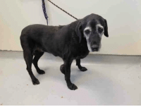 """Animals, Dogs, and Facebook: LANCASTER SHELTER (CA)**THIS 15-YEAR-OLD GIRL, WITH A FACE THAT BETRAYS HER SADNESS, WAS TURNED IN AS A """"STRAY"""". I think we all know what that means...her family decided they couldn't/wouldn't/didn't want to take care of her anymore. She has obvious medical issues, but she's 15. Even if she doesn't have long to live shouldn't that time be spent in a home where she is loved? Shouldn't every day be the best it can be? Isn't that what we wish for any senior? Let's try to get this angel to safety ASAP...we can't make her wait. Please SHARE so the rest of her life will make her forget the betrayal she suffered and the loneliness of the scary shelter. Liking the post is nice, but SHARING SAVES LIVES. Remember...due to disreputable rescues lurking all over facebook, I do not allow pledging on my threads. I WILL DELETE ALL COMMENTS CONTAINING PLEDGES OR SOLICITING PLEDGES. If the animal is rescued (and I find out who the rescue is) I or the rescue will post paypal instructions and I hope you will donate at that time. Thanks.   This DOG - ID #A5109260  Petharbor link: http://petharbor.com/pet.asp?uaid=LACO3.A5109260  LA County website link: http://animalcare.lacounty.gov/wps/portal/acc/our_animals/detail?animalID=A5109260&page=2  I don't have a name yet and I'm an approximately 15 year old female labrador retr.  I am already spayed.  I have been at the Lancaster Animal Care Center since September 9, 2017.  I am available on September 13, 2017.  You can visit me at my temporary home at L130.  Friends of Lancaster Shelter Dogs CA's thread: https://www.facebook.com/networkinglancastershelterdogs/photos/a.1860073370895670.1073741828.1860072520895755/2006092016293804/?type=3&theater  Lancaster Shelter - Phone: 661-940-4191 (24-hour call center) or 661-974-8358 (direct line), Address: 5210 W. Ave. I, Lancaster, CA 93536  Shelter hours: Monday- Thursday: 12:00 p.m. - 7:00 p.m. Friday-Sunday: 10:00 a.m.-5:00 p.m.  PetConnect.Us PLEDGE POLICY: I do NOT al"""