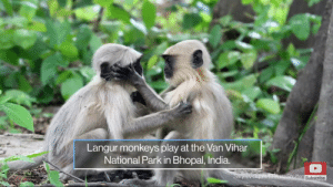 India, Epa, and Via: Langur monkeys play at the Van Vihar  National Park in Bhopal, India.  Sanjeev Gupta/EPA via ShuttersSubscribe ♥️