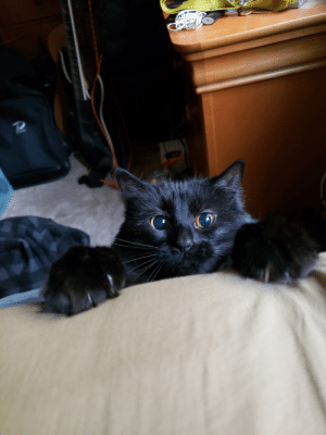 Lately Luna has been waking me up by pawing at my pillow from the floor. I captured her in the act.: Lately Luna has been waking me up by pawing at my pillow from the floor. I captured her in the act.