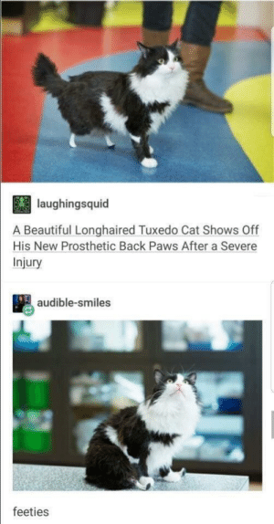 Strutin': laughingsquid  A Beautiful Longhaired Tuxedo Cat Shows Off  His New Prosthetic Back Paws After a Severe  Injury  audible-smiles  feeties Strutin'