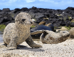 laurajmoss:  Fresh out of the water, newborn sea lion pups roll in sand to protect themselves from the blazing sun in San Cristobal, Galapagos Islands.  i just threw up this is so precious : laurajmoss:  Fresh out of the water, newborn sea lion pups roll in sand to protect themselves from the blazing sun in San Cristobal, Galapagos Islands.  i just threw up this is so precious