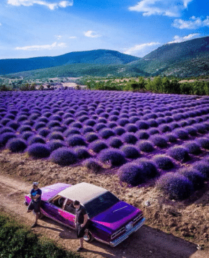 Field and Lavender: Lavender Field