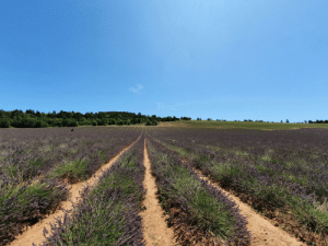 Lavender Fields in Luberon Provence | Provence Meme on ME ME