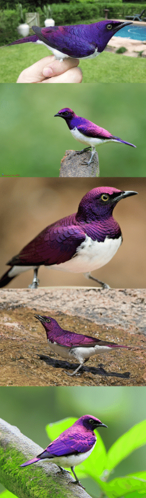 Tumblr, Wikipedia, and Blog: Lawrence Neo 2013 end0skeletal:Violet-backed Starling Males (x x x x)