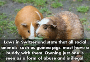 Animals, Club, and Tumblr: Laws in Switzerland state that all social  animals, such as guinea pigs, must have a  buddy with them. Owning just one is  seen as a form of abuse and is illegal laughoutloud-club:  Pro or con?