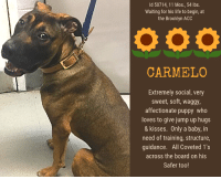 """Andrew Bogut, Apparently, and Bailey Jay: ld 50714, 11 Mos., 54 lbs.  Waiting for his life to begin, at  the Brooklyn ACC  CARMELO  Extremely social, very  sweet, soft, waggy,  affectionate puppy who  loves to give jump up hugs  & kisses. Only a baby, in  need of training, structure,  guidance. All Coveted 1's  across the board on his  Safer too! ***CARMELO HAS A $200 PLEDGE FROM A PRIVATE DONOR TO THE PULLING RESCUE***  TO BE KILLED 1/18/2019  CARMELO is a gorgeous puppy, barely 11 months old, and full of joy and love for people.  He spent all his time during intake trying to jump up on the ACS trying to get a hug, and it didn't stop there!  During his behavior, this soft, social, incredibly affectionate boy just wanted to give jump up hugs and sloppy kisses to the Assessor too!   There is nothing more heartwarming than to see puppy who is so innocent and sweet, a puppy whose tail is nothing but a blur as he wilggles and wags for the amusement of his new human friends.  There is also nothing as heartbreaking as knowing that he has no idea he will soon die, and that his precious life will be cut short simply because his parent seemed to be inexperienced with dogs and dog training, and never bothered to give little Carmelo a structured home life, or training on calming commands like """"down"""" and """"place"""", so that Carmelo's enthusiasm and puppy playfulness could be channeled in a way that would allow him to remain calm in the face of life's distractions. We are questioning his parent's story as well, because puppy mouthiness can be confused with nippiness. It's important to understand the difference!  And that's just one more puppy trait that needs training!  Just like human children, a puppy needs guidance. CARMELO is a winning combination of good looks, eagerness to please, and over the top affection.  He is GREAT with other dogs too.  He just needs the training he never got, so he can be the VERY best pup he can be and learn big boy skills. Don't let this precious you"""