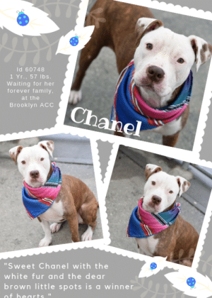 "Beautiful, Children, and Comfortable: ld 60748  1 Yr., 57 lbs.  Waiting for her  forever family,  at the  Brooklyn ACC  chanel  ""Sweet Chanel with the  white fur and the dear  brown little spots isawinner  of hearts ""Why has no one picked me?""  INTAKE DATE – 4/22/2019  A little doll <3   Chanel would love to be an ""ooh la la"" but with her itchy skin, and red rimmed eyes, this baby girl is waiting for her veterinary make-over. Dumped by her parent, for who knows what, she is barely 12 months old, lost in the shelter system, and feeling pretty down. Sweet as the day is long, but shyly so, she hopes that a family will see beyond her temporary skin issue to the beautiful pup she truly is and the wonderful adult she will become in the hands of a loving, caring, committed family. Don't let her sit there, dejected and lonely and uncomfortable in her skin. Foster or adopt her now and give her, her happy ever after. Every puppy deserves one. And Chanel, most of all. Message our page or email us at MustLoveDogsNYC@gmail.com for assistance.  A volunteer writes: ""Sweet Chanel with the white fur and the dear brown little spots is a winner of hearts. This young, fresh pup seems shy at first, but once she feels comfortable, she becomes warm and affectionate and playful - with both humans and dogs. It's obvious that someone taught her some important home-manners, because she knows all the rules about going potty outside and walking nice on the leash. She's friendly when she's being bathed and brushed, and loves to follow her favorite humans around. She's got a nice medium energy level, knows ""sit,"" and will come when you call her. Owing to some timid behaviors, her best forever home would have loving adults in it (over the age of 13) to help her relax and have fun!""  MY MOVIES Chanel - a little doll!  https://youtu.be/O78_chTYS8M  Chanel  https://youtu.be/n6a3YCIM7X0  CHANEL, ID# 60748, 1 yr old, 57.6 lbs, Unaltered Female Brooklyn ACC, Large Mixed Breed, Brindle / White  Owner Surrender Reason:  Shelter Assessment Rating:  No children (under 13) Medical Behavior Rating: 2. Blue  MEDICAL EXAM NOTES   DVM Intake. Estimated age: 1 year. Microchip noted on Intake? No.  Microchip Number (If Applicable): n/a. History: Owner surrender. Subjective: BARH, no coughing/sneezing/vomiting/diarrhea. Observed behavior: Whale eye, lip licking, tucked tail. Allowed all handling for exam, muzzled for treatments as precaution, no attempts to bite or growl. Evidence of cruelty seen: No. Evidence of trauma seen: No. Objective:  P: WNL, R: WNL, BCS: 5/9, OP: Mucous membranes pink and moist. CRT <2. No calculus/gingivitis. EENT: Eyes, ears, and nares clear bilaterally, no discharge noted. PLN:   small/soft/symmetrical/nonpainful. CV: No murmurs or arrhythmias, pulses strong and synchronous. RESP: Eupneic, no crackles/wheezes. GI: Soft, nonpainful, no palpable masses. UG: Female intact, developed mammary tissue, no mammary gland tumors noted, no discharge. INT: Mild alopecia over dorsal neck and shoulders, skin appears mildly thickened. No ectoparasites or masses noted. MS: Ambulatory x4, no pain on palpation of epaxials. NEURO: Mentation appropriate, cranial nerves intact, no deficits noted. Assessment:  -Alopecia (r/o demodex vs allergic skin disease vs other ectoparasite)  Prognosis: Good. Plan: -Monitor alopecia, -Spay. Surgery: Okay for surgery  *** TO FOSTER OR ADOPT ***  If you would like to adopt a NYC ACC dog, and can get to the shelter in person to complete the adoption process, you can contact the shelter directly. We have provided the Brooklyn, Staten Island and Manhattan information below. Adoption hours at these facilities is Noon – 8:00 p.m. (6:30 on weekends)  If you CANNOT get to the shelter in person and you want to FOSTER OR ADOPT a NYC ACC Dog, you can PRIVATE MESSAGE our Must Love Dogs page for assistance. PLEASE NOTE: You MUST live in NY, NJ, PA, CT, RI, DE, MD, MA, NH, VT, ME or Northern VA.   You will need to fill out applications with a New Hope Rescue Partner to foster or adopt a NYC ACC dog. Transport is available if you live within the prescribed range of states.  Shelter contact information: Phone number (212) 788-4000 Email adopt@nycacc.org  Shelter Addresses: Brooklyn Shelter: 2336 Linden Boulevard Brooklyn, NY 11208 Manhattan Shelter: 326 East 110 St. New York, NY 10029 Staten Island Shelter: 3139 Veterans Road West Staten Island, NY 10309"