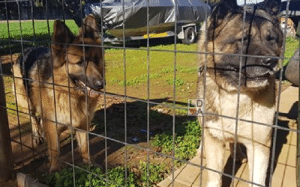 Dogs, Facebook, and Memes: LD ***UPDATE - Reunited with owner***  FOUND DOGS Virginia #Adelaide 23/06/19 0450 607 884 https://www.facebook.com/deborah.barons.3