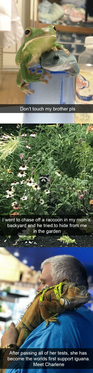 animalsnaps:Animal snaps: le  Don't touch my brother pls   Iwent to chase off a raccoon in my mom's  backyard and he tried to hide from me  in the garden   After passing all of her tests, she has  become the worlds first support iguana  Meet Charlene animalsnaps:Animal snaps