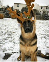 Memes, 🤖, and Jax: Lear  fax-th  呎 Is it just us, or has Santa's reindeers gotten hairier?   Via jax_theshepherd/Instagram