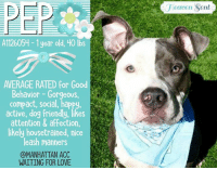 **** TO BE KILLED - 9/26/2017 ****  ADORABLE ALERT FOR LITTLE PEP <3 Need a little pep in your step or a little zip in your life? Then Pep might just be ya' boy =D A volunteer writes: Pep, the peppy one! Pep is a gorgeous young man with a very happy personality, very medium size and all dressed in silver and white. He is friendly with people and dogs alike, bouncing enthusiastically with males and females in playgroups. He is a good walker, probably housetrained, an occasional sitter, mostly when treats are being promised and very appreciative of caresses, kisses and hugs. Being a young lad full of energy, he sometimes gets carried away, mouths and wrestles with his leash. Like with kids, Pep will need to be taught in a gentle but firm way who is the boss…True, he owns such an angel face that he is hard to resist… Pep is at the Manhattan Care Center, dreaming of a new owner or family and a home to call his own. Come and meet him soon.  Manhattan Center PEP - A1126054 APBT 1 year old gray brindle/white male, 40 lbs  Owner Surrender: Reason stated STRAY Behavior Rating is AVERAGE  9/25/2017 AT RISK MEMO A1126054 Pep is At Risk for CIRDC  S/O BAR, appears friendly and energetic at front of cage soft sneezing, mucoid nasal discharge appears eupnic pyoderma resolving A Pyoderma CIRDC P move to isolation doxycycline 200 mg PO SID x 14 days cerenia 60 mg PO SID x 3 days.  PET PROFILE MEMO 9/20/17 13:09 Pep came in as a stray with parks department so there is no past behavior known. Upon intake, Pep had a wiggly body, wagging his tail, jumping gently on counselor. HE was excited to take treats and knows sit on command. He allowed collaring and scanning.  9/21/2017 BEHAVIOR EVALUATION – AVERAGE KNOWN HISTORY: None 9/20/17 Unaltered Male, Stray  SAFER ASSESSMENT: 9/21/17  Look: 1. Dog jumps up to lick the Assessor's face with tail wagging, ears back and eyes averted.  Sensitivity: 1. Dog stands still and accepts the touch, his eyes are averted, and his tail is in neutral position with relaxed body posture. Dog's mouth is closed.  Tag: 1. Dog assumes play position and joins the game.  Squeeze 1: 1. Dog gently pulls back his paw.  Squeeze 2: 1. Dog gently pulls back his paw.  Toy: 2. Dog takes toy away, keeps a firm hold. His body is between you and the toy, and he is loose and wiggly. No growling or stiffness. Summary: Pep displayed no concerning behaviors on his assessment and was social throughout.   DOG-DOG INTERACTION ASSESSMENT: Summary  PLAYGROUP: 9/21: When introduced off leash to the female greeter dog, Pep is initially a bit tense and cautious when approached. Once comfortable he begins to spin and solicit bouncy play.  INTAKE BEHAVIOR Upon intake, Pep had a wiggly body and allowed handling.   MEDICAL BEHAVIOR: 9/20/17 During his initial medical exam, Pep was social and sought attention.   ENERGY LEVEL: We have no history on Pep so we cannot be certain of his behavior in a home environment. However, he is a young, enthusiastic, social dog who will need daily mental and physical activity to keep him engaged and exercised. We recommend long-lasting chews, food puzzles, and hide-and-seek games, in additional to physical exercise, to positively direct his energy and enthusiasm.   RECOMMENDATIONS: Average (suitable for an adopter with an average amount of dog experience)  9/21/2017 GROUP BEHAVIOR EVALUATION  9/21: When introduced off leash to the female greeter dog, Pep is initially a bit tense and cautious when approached. Once comfortable he begins to spin and solicit bouncy play.  9/22: Pep engages in bouncy play with male and female dogs.  9/23: Pep continues to be social and playful with both male and female dogs.  9/20/2017 DVM INTAKE PHYSICAL EXAM Medical rating was 2 NC – MINOR CONDITIONS NOT CONTAGIOUS, behavior rating was NONE DVM Intake Exam Estimated age: 1 year Microchip noted on Intake? n History : stray Subjective: Observed Behavior – social, wags tail, seeks petting Evidence of Cruelty seen – n Evidence of Trauma seen – n Objective P = 80 R = pant BCS 4/9 EENT: Eyes clear, ears clean, no nasal discharge noted Oral Exam: clean teeth PLN: No enlargements noted H/L: NSR, NMA, Lungs clear, eupnic ABD: Non painful, no masses palpated U/G: intact male x2 MSI: Ambulatory x 4, skin free of parasites, no masses noted, plaque and collarettes esp no ventrum CNS: mentation appropriate – no signs of neurologic abnormalities Assessment; pyoderma Plan cephalexin 250 mg bid x10d Prognosis: SURGERY: Okay for surgery.  9/25/2017 MS NEW URI (LAST MAJOR EXAM) Medical rating 3 C – MAJOR CONDITIONS, S/O BAR, appears friendly and energetic at front of cage soft sneezing, mucoid nasal discharge appears eupnic pyoderma resolving A Pyoderma CIRDC P move to isolation doxycycline 200 mg PO SID x 14 days cerenia 60 mg PO SID x 3 days.  PEP - A1126054 is available to be reserved on the ACC website until noon of September 26th http://www.nycacc.org/PublicAtRisk.htm   Shelter contact information: Phone number (212) 788-4000  Email adopt: adopt@nycacc.org Email foster: accfosters@nycacc.org  NYC ACC SHELTER ADDRESSES:  Brooklyn Shelter: 2336 Linden Boulevard Brooklyn, NY 11208 Manhattan Shelter: 326 East 110 St. New York, NY 10029 Staten Island Shelter: 3139 Veterans Road West Staten Island, NY 10309 ADOPTION HOURS ARE MONDAY THRU FRIDAY, NOON - 8 P.M. Saturday and Sunday (weekends) 10 a.m. to 6 p.m.  If you want to adopt and cannot go pick the dog up personally, please fill out applications with as many rescues as you can. To foster, you must be within 4 hours of NYC. To adopt you will need to be in the general NE US area (unless you can get to the shelter in person).   You can message this page for guidance and assistance. IF NECESSARY, we will provide you with links to New Hope rescue applications to foster or adopt via rescue.: leaven Sent  A1126054-1 year old, 40 lbs  AVERAGE RATED for Good  Behavior - Gorgeous  compact, social, happy  active, dog Friendly, likes  attention & affection,  likely housetrained, nice  leash manners  @MANHATTAN ACC  WATING FUR LOVE  T, **** TO BE KILLED - 9/26/2017 ****  ADORABLE ALERT FOR LITTLE PEP <3 Need a little pep in your step or a little zip in your life? Then Pep might just be ya' boy =D A volunteer writes: Pep, the peppy one! Pep is a gorgeous young man with a very happy personality, very medium size and all dressed in silver and white. He is friendly with people and dogs alike, bouncing enthusiastically with males and females in playgroups. He is a good walker, probably housetrained, an occasional sitter, mostly when treats are being promised and very appreciative of caresses, kisses and hugs. Being a young lad full of energy, he sometimes gets carried away, mouths and wrestles with his leash. Like with kids, Pep will need to be taught in a gentle but firm way who is the boss…True, he owns such an angel face that he is hard to resist… Pep is at the Manhattan Care Center, dreaming of a new owner or family and a home to call his own. Come and meet him soon.  Manhattan Center PEP - A1126054 APBT 1 year old gray brindle/white male, 40 lbs  Owner Surrender: Reason stated STRAY Behavior Rating is AVERAGE  9/25/2017 AT RISK MEMO A1126054 Pep is At Risk for CIRDC  S/O BAR, appears friendly and energetic at front of cage soft sneezing, mucoid nasal discharge appears eupnic pyoderma resolving A Pyoderma CIRDC P move to isolation doxycycline 200 mg PO SID x 14 days cerenia 60 mg PO SID x 3 days.  PET PROFILE MEMO 9/20/17 13:09 Pep came in as a stray with parks department so there is no past behavior known. Upon intake, Pep had a wiggly body, wagging his tail, jumping gently on counselor. HE was excited to take treats and knows sit on command. He allowed collaring and scanning.  9/21/2017 BEHAVIOR EVALUATION – AVERAGE KNOWN HISTORY: None 9/20/17 Unaltered Male, Stray  SAFER ASSESSMENT: 9/21/17  Look: 1. Dog jumps up to lick the Assessor's face with tail wagging, ears back and eyes averted.  Sensitivity: 1. Dog stands still and accepts the touch, his eyes are averted, and his tail is in neutral position with relaxed body posture. Dog's mouth is closed.  Tag: 1. Dog assumes play position and joins the game.  Squeeze 1: 1. Dog gently pulls back his paw.  Squeeze 2: 1. Dog gently pulls back his paw.  Toy: 2. Dog takes toy away, keeps a firm hold. His body is between you and the toy, and he is loose and wiggly. No growling or stiffness. Summary: Pep displayed no concerning behaviors on his assessment and was social throughout.   DOG-DOG INTERACTION ASSESSMENT: Summary  PLAYGROUP: 9/21: When introduced off leash to the female greeter dog, Pep is initially a bit tense and cautious when approached. Once comfortable he begins to spin and solicit bouncy play.  INTAKE BEHAVIOR Upon intake, Pep had a wiggly body and allowed handling.   MEDICAL BEHAVIOR: 9/20/17 During his initial medical exam, Pep was social and sought attention.   ENERGY LEVEL: We have no history on Pep so we cannot be certain of his behavior in a home environment. However, he is a young, enthusiastic, social dog who will need daily mental and physical activity to keep him engaged and exercised. We recommend long-lasting chews, food puzzles, and hide-and-seek games, in additional to physical exercise, to positively direct his energy and enthusiasm.   RECOMMENDATIONS: Average (suitable for an adopter with an average amount of dog experience)  9/21/2017 GROUP BEHAVIOR EVALUATION  9/21: When introduced off leash to the female greeter dog, Pep is initially a bit tense and cautious when approached. Once comfortable he begins to spin and solicit bouncy play.  9/22: Pep engages in bouncy play with male and female dogs.  9/23: Pep continues to be social and playful with both male and female dogs.  9/20/2017 DVM INTAKE PHYSICAL EXAM Medical rating was 2 NC – MINOR CONDITIONS NOT CONTAGIOUS, behavior rating was NONE DVM Intake Exam Estimated age: 1 year Microchip noted on Intake? n History : stray Subjective: Observed Behavior – social, wags tail, seeks petting Evidence of Cruelty seen – n Evidence of Trauma seen – n Objective P = 80 R = pant BCS 4/9 EENT: Eyes clear, ears clean, no nasal discharge noted Oral Exam: clean teeth PLN: No enlargements noted H/L: NSR, NMA, Lungs clear, eupnic ABD: Non painful, no masses palpated U/G: intact male x2 MSI: Ambulatory x 4, skin free of parasites, no masses noted, plaque and collarettes esp no ventrum CNS: mentation appropriate – no signs of neurologic abnormalities Assessment; pyoderma Plan cephalexin 250 mg bid x10d Prognosis: SURGERY: Okay for surgery.  9/25/2017 MS NEW URI (LAST MAJOR EXAM) Medical rating 3 C – MAJOR CONDITIONS, S/O BAR, appears friendly and energetic at front of cage soft sneezing, mucoid nasal discharge appears eupnic pyoderma resolving A Pyoderma CIRDC P move to isolation doxycycline 200 mg PO SID x 14 days cerenia 60 mg PO SID x 3 days.  PEP - A1126054 is available to be reserved on the ACC website until noon of September 26th http://www.nycacc.org/PublicAtRisk.htm   Shelter contact information: Phone number (212) 788-4000  Email adopt: adopt@nycacc.org Email foster: accfosters@nycacc.org  NYC ACC SHELTER ADDRESSES:  Brooklyn Shelter: 2336 Linden Boulevard Brooklyn, NY 11208 Manhattan Shelter: 326 East 110 St. New York, NY 10029 Staten Island Shelter: 3139 Veterans Road West Staten Island, NY 10309 ADOPTION HOURS ARE MONDAY THRU FRIDAY, NOON - 8 P.M. Saturday and Sunday (weekends) 10 a.m. to 6 p.m.  If you want to adopt and cannot go pick the dog up personally, please fill out applications with as many rescues as you can. To foster, you must be within 4 hours of NYC. To adopt you will need to be in the general NE US area (unless you can get to the shelter in person).   You can message this page for guidance and assistance. IF NECESSARY, we will provide you with links to New Hope rescue applications to foster or adopt via rescue.