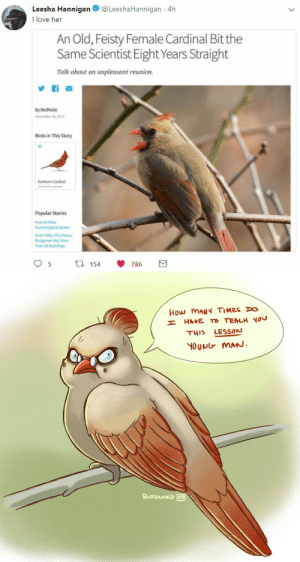 burdnurd:fun morning doodle based off a tweet on my feed this morning lol : Leesha Hannigan@LeeshaHannigan 4h  I love her  An Old, Feisty Female Cardinal Bit the  Same Scientist Eight Years Straight  Talk about an unpleasant reunion  By BirdNote  November 4,21  Birds in This Story  Northem Cardinal  Popular Stories  How to Make  Hammingird Necta  Mone's Why This Ma  Mergansor Has More  Than 50 Ducklings  5  ti 154  786   How MANY TIMES DO  HAVE TO TEACH YOU  LESSON  THIS  YOUNG MAN.  BURDNUED burdnurd:fun morning doodle based off a tweet on my feed this morning lol