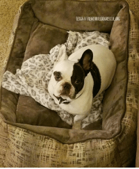 """Beautiful, Confidence, and Family: LEIGH// FRENCHBULLDOGRESCUEORG Give a warm welcome to Leigh, FBRN's newest foster diva! 5-year-old Leigh is absolutely adorable and is well mannered, too! Leigh arrived in foster care when her previous owner's job began to require long hours away from home. Her previous owner knew that Leigh needed more quality time with her person, so Leigh was lovingly surrendered to FBRN.  So far, Leigh has made a wonderful move into her foster home and her personality is really starting to shine. Leigh LOVES kids and would rather be in the mix with a bunch of youngsters than sitting on the sidelines with the adults. Leigh has been well trained and knows how to """"sit,"""" """"down,"""" and """"paw,"""" though she will only perform her party tricks with the promise of a treat. Like most Frenchies with selective hearing, Leigh doesn't answer to her name too much, but will come to """"names"""" like """"Treat,"""" """"Outside,"""" and """"Ride.""""   Leigh's foster family will continue to work with her on her confidence and anxiety. If you would like to sponsor Leigh and help this beautiful girl on her way to the available page, head on over to her page: http://frenchbulldogrescue.org/help-fbrn/foster-dogs/"""