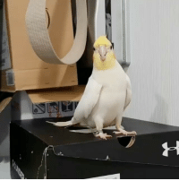 Memes, 🤖, and Step: Let me see you two step! Credit: @totoro_cockatiel