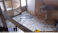 Let's all cheer for April the giraffe as she's expecting her baby anytime now. Go April, you can do it! :-): Let's all cheer for April the giraffe as she's expecting her baby anytime now. Go April, you can do it! :-)